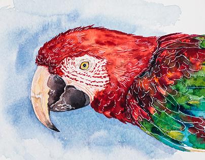 Попугай Ара, акварель |Ara parrot, watercolour