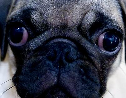 Baxter the Pug - August 2016
