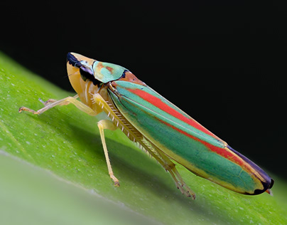 Photo Series: Nature / Case 33: Graphocephala fennahi