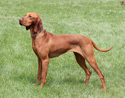 Vizlas - Sporting Dog Breed
