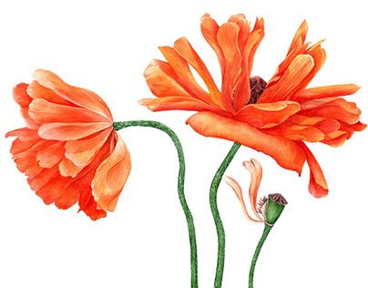 Red poppy flowers