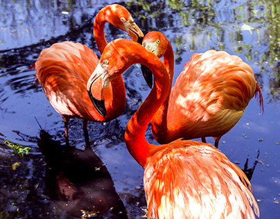Flamingos in a pond
