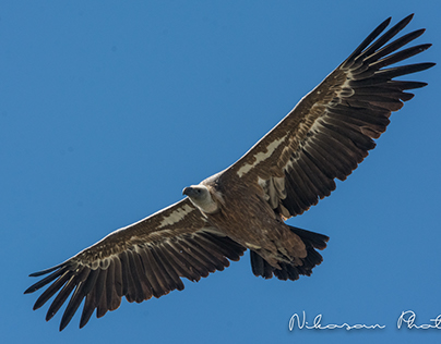 Vultures in Provence