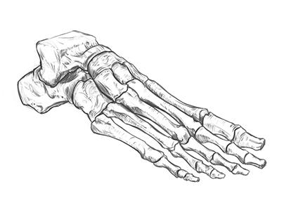 Foot bones quick sketch.