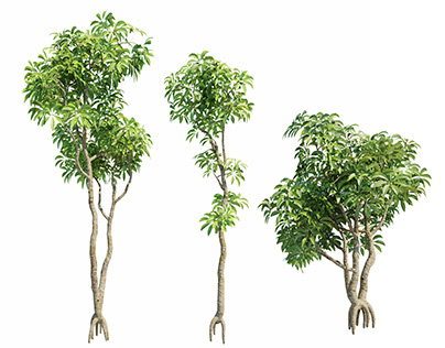 Plumeria 3D Models