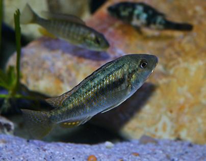 Astatotilapia calliptera Chisumulu