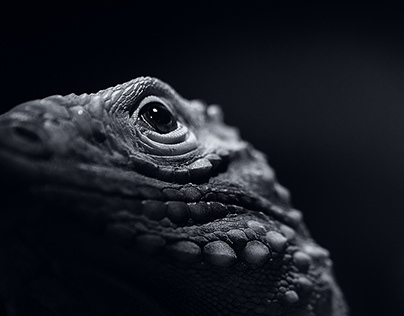 Cuban Rock Iguana BW