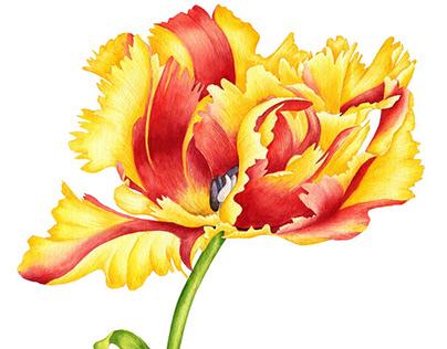 Tulip Flaming parrot.