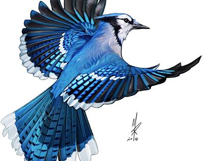 Flight Of The Blue Jay 2016