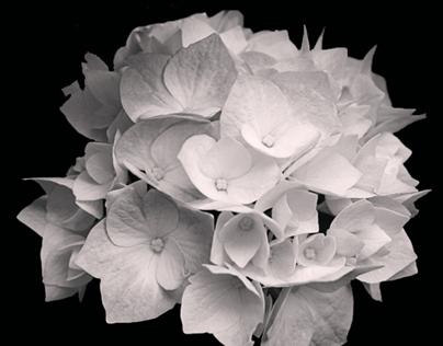 Luminous Florals