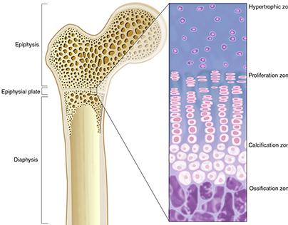 Components of a Long Bone
