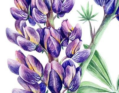 Botanical illustration. Lupinus