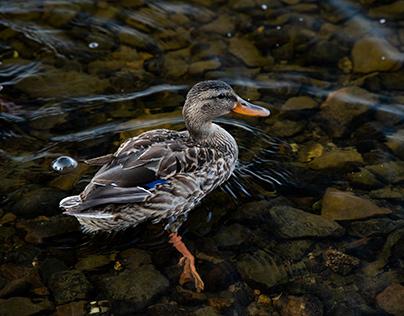 Un beau canard du Québec.
