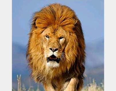 lion life