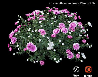 Chrysanthemum flower plant set 06