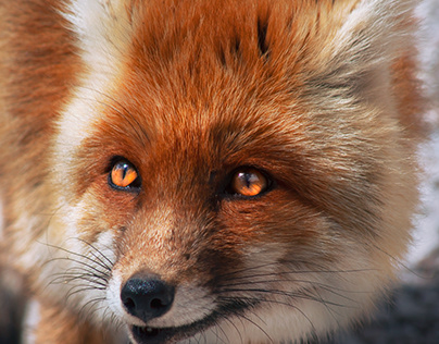"""""""a fox is a wolf who sends flowers"""""""