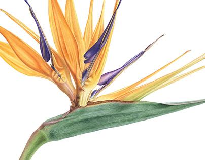 Strelitzia reginae. Botanical illustration