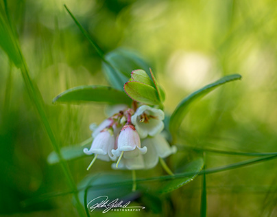Lingonberry flowers in June