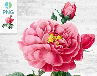 VINTAGE FLOWER Rose of Orleans