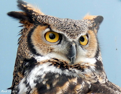 The Great-Horned Owl... this Great Duke