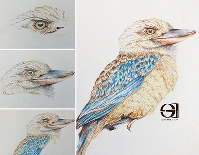 Kookaburra Coloured Pencils Drawing