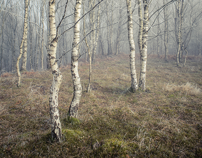 Silver Birch - an individual tree