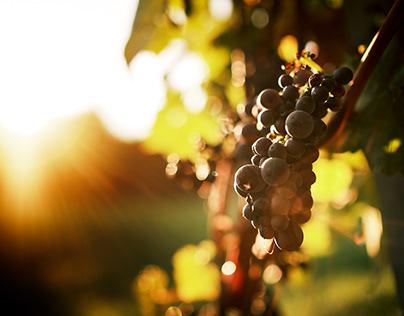 Weinlese im Weingut Kusterer