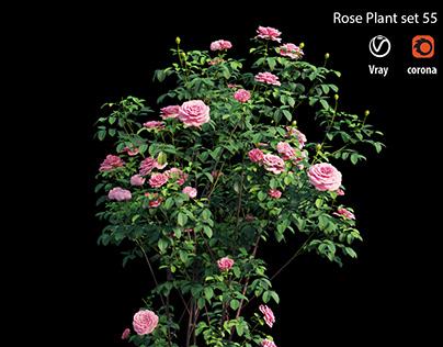 Rose plant set 55