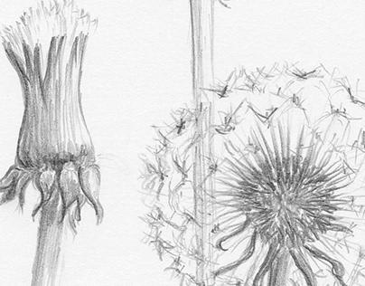dandelions * my love*