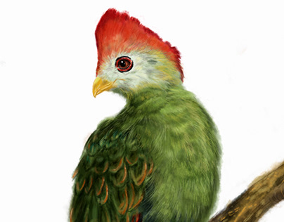 Turaco red crested