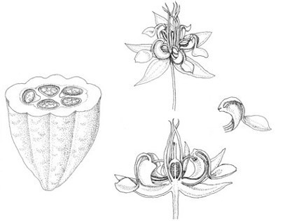Botanical Illustrations; plants and sketches of plants