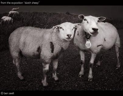 DUTCH SHEEP