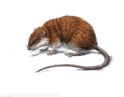 Long tailed nesokia rat