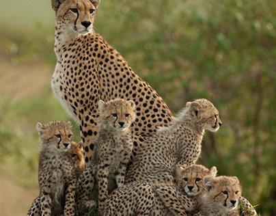 Wildlife Photography Cheetah