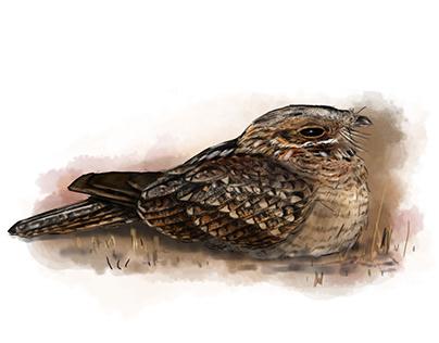 Bird illustrations for the European Breeding Bird Atlas