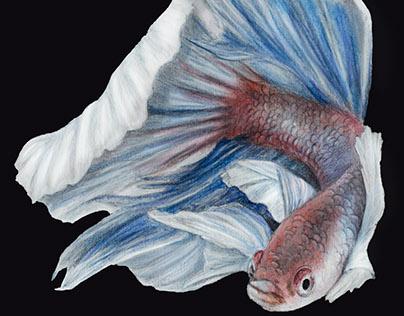Siamese fighting fish illustration -