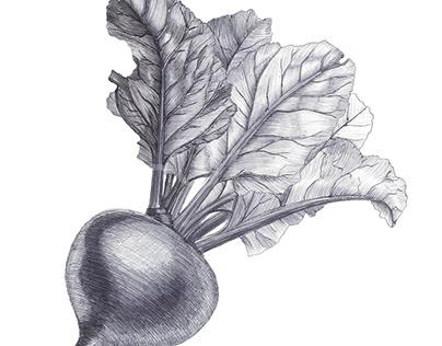 Beta vulgaris (Beet). Свёкла