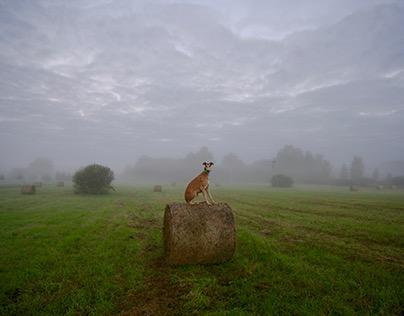 Greyhound in mist
