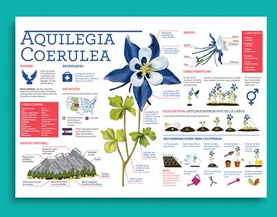Infografía Flor Aquilegia