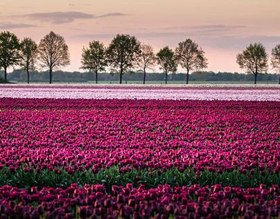 Purple tulips at sunset