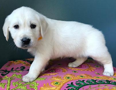 Golden Retriever Puppies for Sale in Nashville