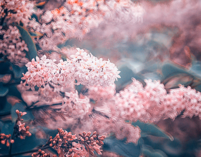 Lilac flowers - Iceland 2021