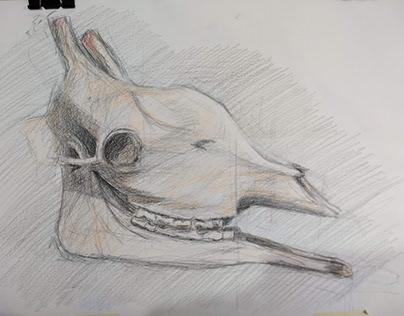 Dibujos de estudio, cráneos de animales