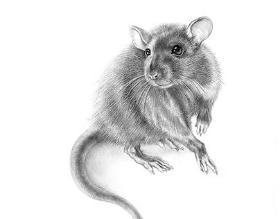 Pencil drawing Rattus Norvegicus