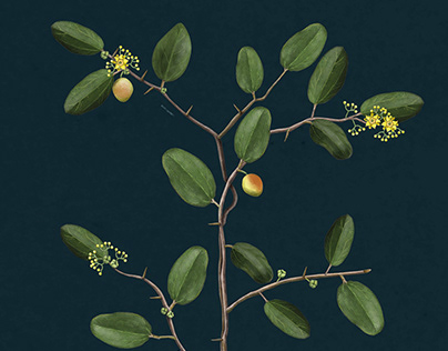 Botanical illustration for a museum. Plant illustration