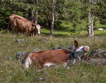 mucche (I)