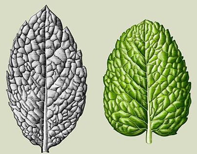 Mint leave illustration by ink