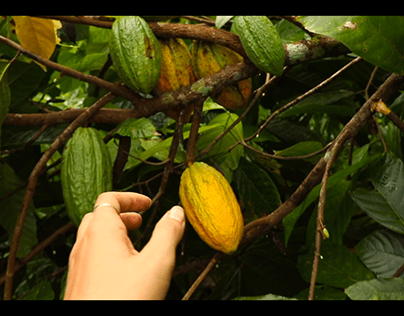 STORY OF THE COCOA BEANS