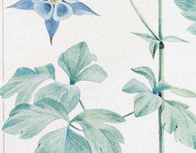 Aquilegia - botanical watercolor