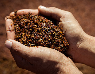 Rooibos, the red gold
